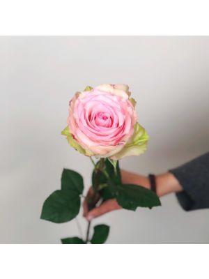 Rose 'Esperance' 50cm