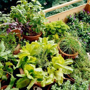 Assortiment plantes aromatiques