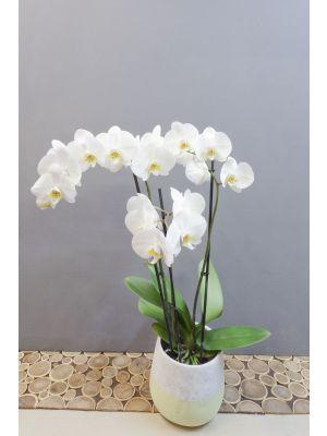 Orchidée classique blanche