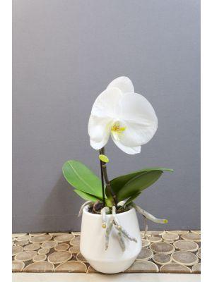 Orchidée singolo blanche