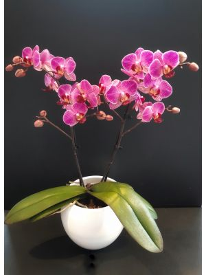 Orchidée papilletta