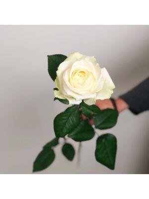 Rose 'Avalanche' 60cm