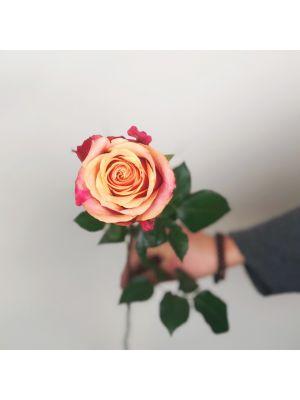 Rose 'Cherry Brandy' 50cm