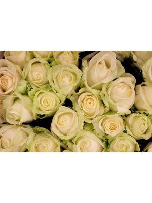 24 roses 'Avalanche' 60cm - Fleuriot