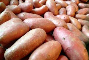 Pommes-de-terre rouge Chérie