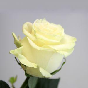 Rose 50 cm Blanche