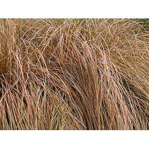 Carex flagellifera 'Auruga'