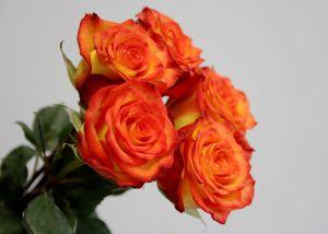 Rose 50 cm Bicolore