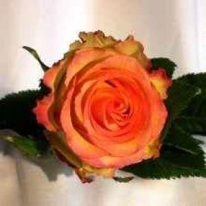 Rose orange BICOLOR
