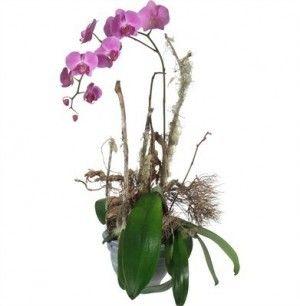 Une précieuse orchidée (en pot)