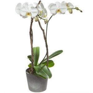 Orchidée blanche (Phalaenopsis) en cache-pot