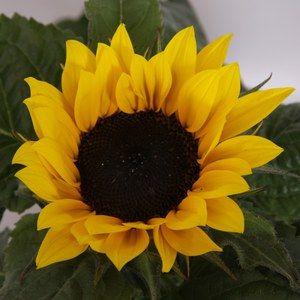 Helianthus 'Sun sensation'