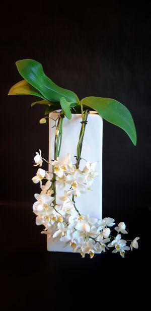 Phalaenopsis cascade blanche