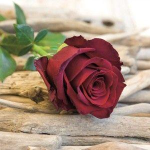 Carte Chevalier à la rose